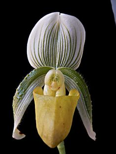 Paphiopedilum Orchid; by Koshyk, via Flickr
