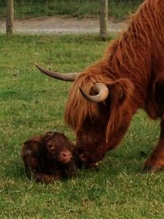 Royal Highland Calf!  http://www.thenorthernecho.co.uk/news/10566231.Baby_calf_makes_royal_entrance/