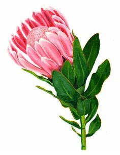 Items similar to Watercolor flower painting print of an indigenous Pink Protea from South African on Protea Art, Flor Protea, Protea Flower, Fruit Illustration, Botanical Illustration, Botanical Drawings, Botanical Prints, Art Floral, Watercolor Flowers