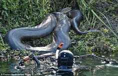 A diver photographing a 26-foot long Anaconda!  No thank you!!!