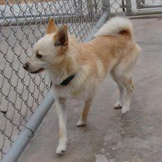 01/08/17 -  Gizmo Dog • Pomeranian & Chihuahua Mix • Adult • Male • Small Animal Rescue League of El Paso El Paso, TX  Gizmo Gizmo Gizmo