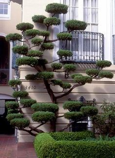 Some wonderful 'cloud pruning'. Cloud Pruning (Niwaki) is pruning limbs in such a way as to create space between them and flatten the top and bottom. It can be a solution for a small area. Topiary Garden, Garden Art, Garden Plants, Topiary Trees, Trees And Shrubs, Trees To Plant, Cloud Pruning, Jardin Decor, Dream Garden