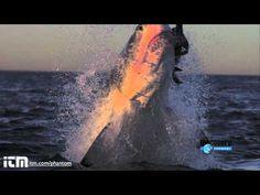 Incríveis cenas do ataque de tubarão em slow motion