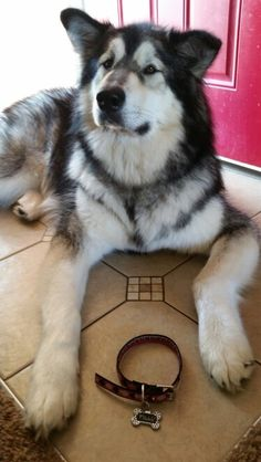 Colt is getting a baby sister! Giant Malamute, Malamute Puppies, Snow Dogs, Baby Sister, Husky, Sisters, Animals, Dogs, Animales