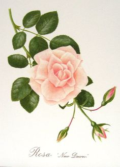 Roses 4 Beautiful Botanical Prints Book Plates 5 via Etsy