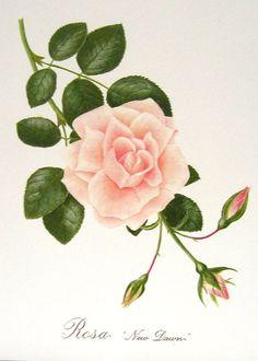 Roses 4 Beautiful Botanical Prints Book Plates 5 via Etsy