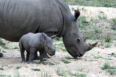 Südafrika und Botswana: Der Kampf um die Nashörner: Nashornkuh mit Kalb: Die Mutter ist ungewöhnlich gelassen. Diese Tiere haben wohl nie einen Wilderer gesehen - bis jetzt