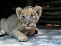 File photo: '(The Lion Park knows) that volunteers and tourists would never visit lion-breeding facilities if they were told upfront that the cubs that were petted today were destined to be sold for canned hunting.' Picture: Jennifer Bruce