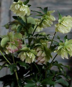 クリスマスローズ<BR>ダブル*花付抜群!<BR>『ホワイト〜ピンク』   Flower Species,クリスマスローズ