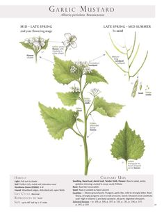 Garlic Mustard. These are pages from the book Foraging & Feasting: A Field Guide and Wild Food Cookbook by Dina Falconi and illustrated by Wendy Hollender. Published by Botanical Arts Press. Learn more about the book and how to purchase at www.botanicalartspress.com.