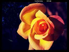 Yellow rose #andrography #photodroid #SII #mytubo #Brasil #flowers   http://www.mytubo.net/0mgOb0