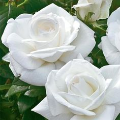 Love...and NEED. Sugar Moon™ Hybrid Tea Rose - Shrub Roses - Roses