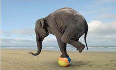 elefante en equlibrio