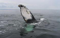 Trois Rivieres, Saint Laurent, Laval, Quebec, Whale, Photos, Animals, Board, Dolphins
