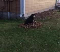 Bear, the dog had to smoosh into one of the many piles of leaves I had raked up. She then did it two more times, but she didn't like me taking pictures of her. So this was the only lead pile I got a pic of her on...