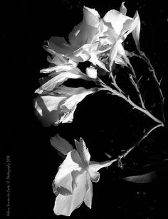 Photography: White Flowers, Photo credits by Helena Simões da Costa © Photography 2016 (in Lisboa); My other photographic works, here: http://helenasimoesdacosta.wixsite.com/helencostafotografia. This photo is in my article, here: http://www.arlindovsky.net/2016/10/a-linguagem-dos-anjos-por-helena-simoes-da-costa/ . #flower #white
