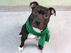 JEROME - A1100971 - - Manhattan  TO BE DESTROYED  01/09/17 A volunteer writes: Who needs dessert when you've got Jerome? This adorable black-n-white cookie had me at hello with his sweet face and even sweeter nature as he quickly spun what had been a lousy workday into first date gold! He's an almost-grown puppy, but delights in the innocent joys of exploring his world, and relishes even the smallest discovery from fallen leaves to fellow dogs, sniffle-snuffling