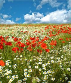 a field of poppies and daisies  how i would love this in the so called grass we call the front yard... so much prettier <3  bes