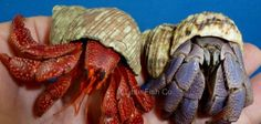 A strawberry and a blueberry hermit crab. Hermit Crab Homes, Hermit Crabs, Halloween Crab, Hermit Crab Habitat, Coconut Crab, Classroom Pets, Little Fish, Beautiful Fish, Planted Aquarium