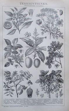1895 TEREBINTHINEN BOTANIK Original Alter Druck Antique Print Lithographie | eBay