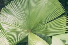 Ruffled Fan Palm Houseplant: How To Grow An Indoor Ruffled Fan Palm Tree