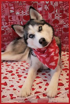♡Valentine's Day Siberian Husky.♡ Photo uploaded by U2Q.
