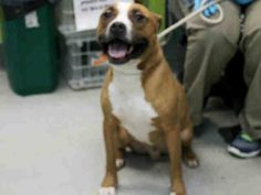 Brooklyn Center CHIP - A1029142 MALE, BROWN / WHITE, STAFFORDSHIRE / BOXER, 4 yrs STRAY - STRAY WAIT, NO HOLD Reason STRAY Intake condition EXAM REQ Intake Date 03/01/2015, https://www.facebook.com/Urgentdeathrowdogs/photos/pb.152876678058553.-2207520000.1425247429./970193986326814/?type=3&theater