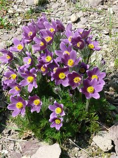 Pulsatilla vulgaris. Pasque flower. Full sun. 20cm high. Deep purple, just like at the Beth Chatto gardens & mine! Started flowering 1st April. Colours include shades of purple, white (Alba), red (Rubra), bright pink (rosea) & pale pink (pearl bells). Beautiful.