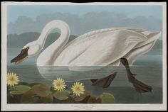 Common American Swan ( 1824–38 ). Etching and aquatint, hand-coloured.   Taken from 'The Birds of America' after John James Audubon (American, 1785–1851).  Image and text courtesy MFA Boston. Illustrated books