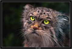 another view of the pallas cat, gorgeous!