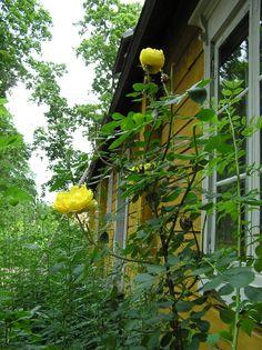 Persian keltaruusu Aschanin talon seinustalla. / Rosa foetida Persian Yellow in the garden of Aschan House, Heinola, Finland.