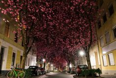 Cherry Blossoms in Bonn