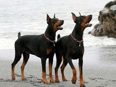 The Doberman Pinscher is among the most popular breed of dogs in the world. Known for its intelligence and loyalty, the Pinscher is both a police- favorite I Love Dogs, Cute Dogs, Awesome Dogs, Black And Tan Terrier, Doberman Love, Doberman Pinscher Dog, Training Your Dog, Beautiful Dogs, Dog Life