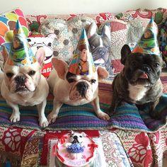 """Happy Birthday Tomato!"", shame I forgot to bring my Pawty face! French Bulldogs, photo by chalky0528's."
