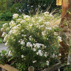 Le choisya White Dazzler... Oise, Grass, Flowers, Plants, Gardens, D Day, Green, Grasses, Plant