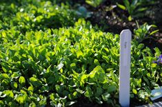 Arugula is one of many good late-season crops. Click through and read more.
