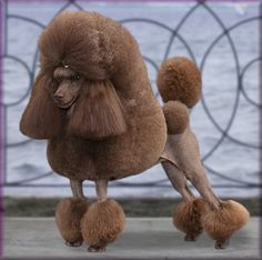 Toy Poodle Puppies for Sale at Paperbirch Toy Poodles in Pennsylvania ...