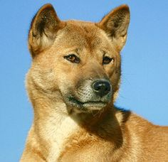 The New Guinea Singing Dog is said to be the rarest breed in the world. It has a fox-like appearance and is known for its ability to vary the pitch of its howl. They exhibit a structural flexibility that allows them to squeeze through any space that will fit their head. While they can be domesticated, they are not recommended as a pet. They exhibit wild dog tendencies for an extreme hunting drive and a desire to roam and explore. Unusual Dog Breeds, Rare Breeds, Rare Dogs, Wild Dogs, Exhibit, Pitch, Flexibility, Hunting, Fox