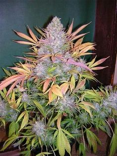 Legal cannabis supply is a Fast, Friendly, Discrete, Reliable cannabis online dispensary which ships top grade bud around the world. Buy marijuana Online USA and Buy marijuana online UK or general Buying marijuana online has been distinguished by the superior quality of our products and by our overall focus on wellness and wide variety of marijuana strains for recreational use. Go to .... https://www.legalcannabissupply.com E-mail:legalcannabissupply@gmail.com