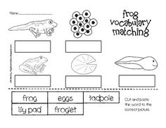 Simple Life Cycle of a Frog Unit {3 stages or 6 stages}