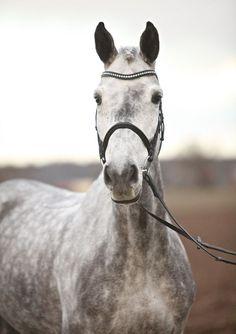 Zenaya, Holstein Mare - German Horse Center