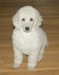 Looks just like our Jezebelle when she was a puppy! I <3 standard poodles!!!