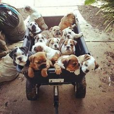 wagon full of baby bulldogs! This is the dream!