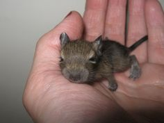 Adorable baby degu. I miss my Zotikos and when they were this little and escaped into Lish's room.... oh those were the days!