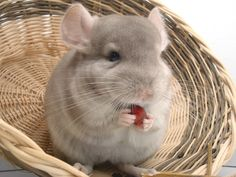 Provided a healthy and balanced diet for your chinchilla is an essential part of their care. Find out the chinchilla food needed to take care of your pet. Chinchilla Facts, Chinchilla Baby, Chinchillas, Hamsters, Animals For Kids, Cute Animals, Cute Names, Rodents, Exotic Pets