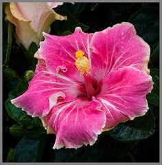 Pink-White Hibiscus