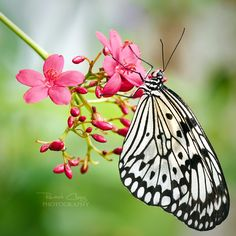 Paper Kite butterfly ... black and white on pink flowers ...  by *RHCheng
