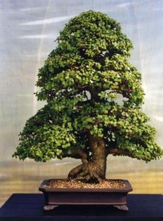 you are keen to have a bonsai why not consider a succulent bonsai, they are e. you are keen to have a bonsai why not consider a succulent bonsai, they are e.