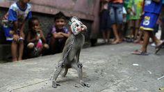 El gobernador de Yakarta contra el cruel negocio de los monos enmascarados