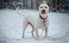 American Pit Bull Terrier, 4k, winter, pets, dogs, Pit Bull Terrier